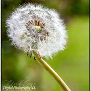 Web Dandelion flower