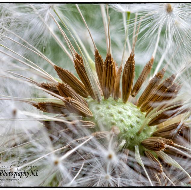 Dandelion flower Macro