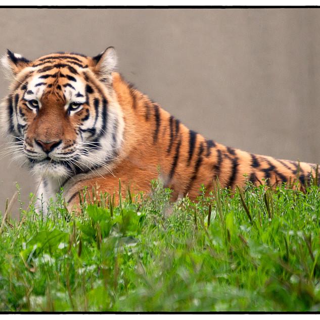 Tiger at Rest 1