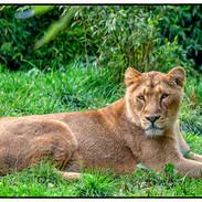 Lion at Rest 2