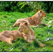 Lion at Rest 1