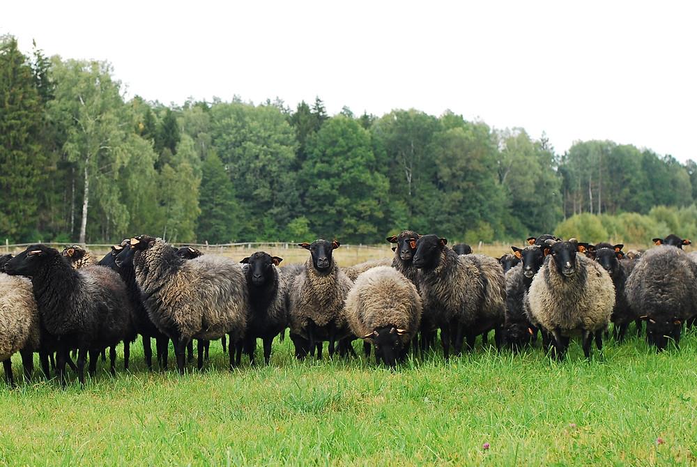 ヤノフ村の羊 ポーランド原産のWrzosowkaという品種