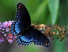 butterfly_-_purple_spotted.jpg