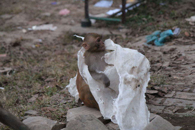 """monkey with plastic"" -- Kathmandu, Nepal"
