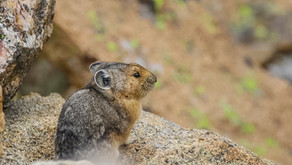 The Mighty American Pika