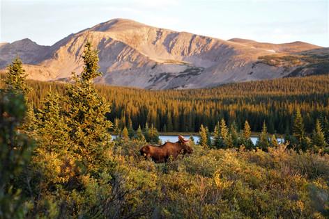 Moose at Sunrise by Kallie Bjerke