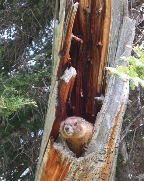 Marmot Photo by Mandi Wood