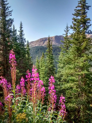 Fireweed by Carol Dozier