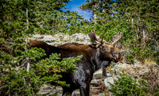 Bull Moose by Anonymous