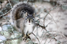 Pine Squirrel Chickaree by Anonymous