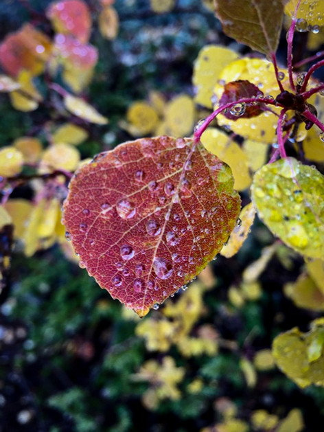 Aspen Leaf with Rain by Kenneth Wilson