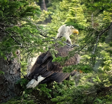 Bald Eagle by Mary White