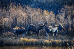 Moose Family by Reinhard Hohensee