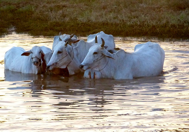 Cows in the Mekong
