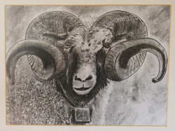 Horned Ram