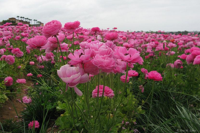Sedona Pinks & Lavender
