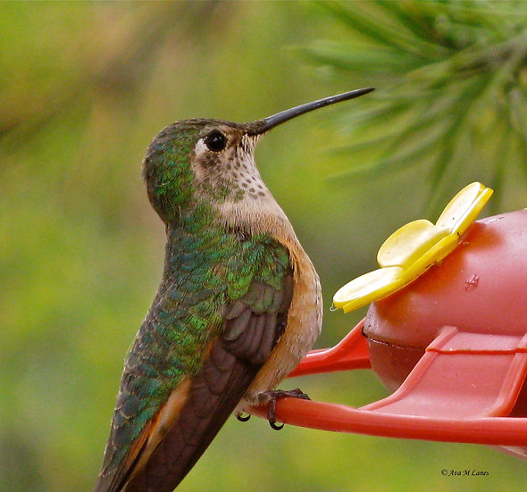 Hummer on Red