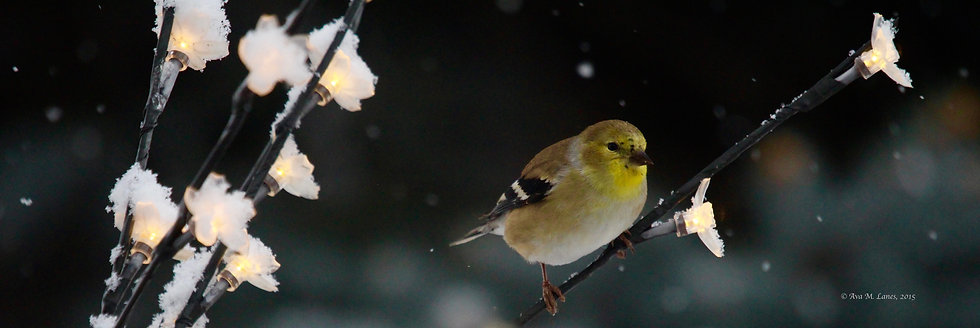 Finch on Lights