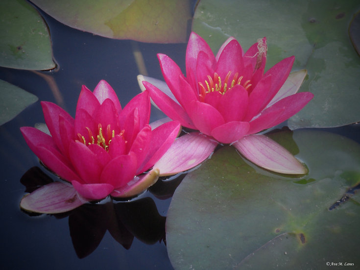 Water Lilies In Bright Pink