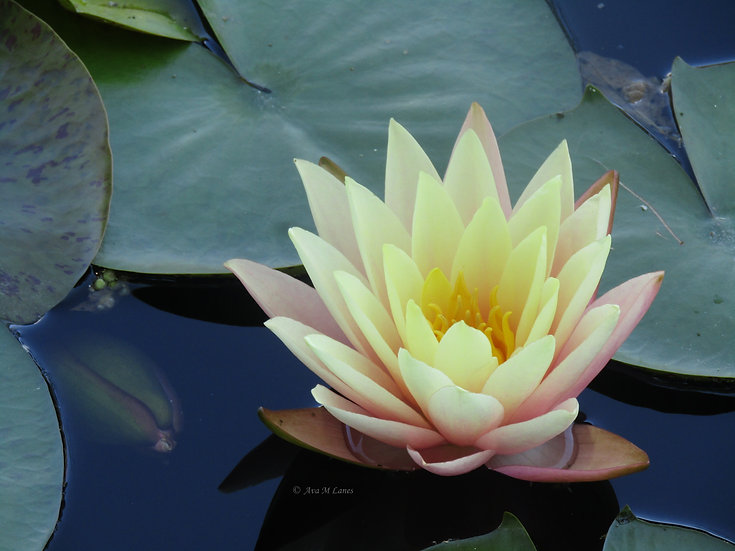 Water Lilies In Yellow & Light Pink