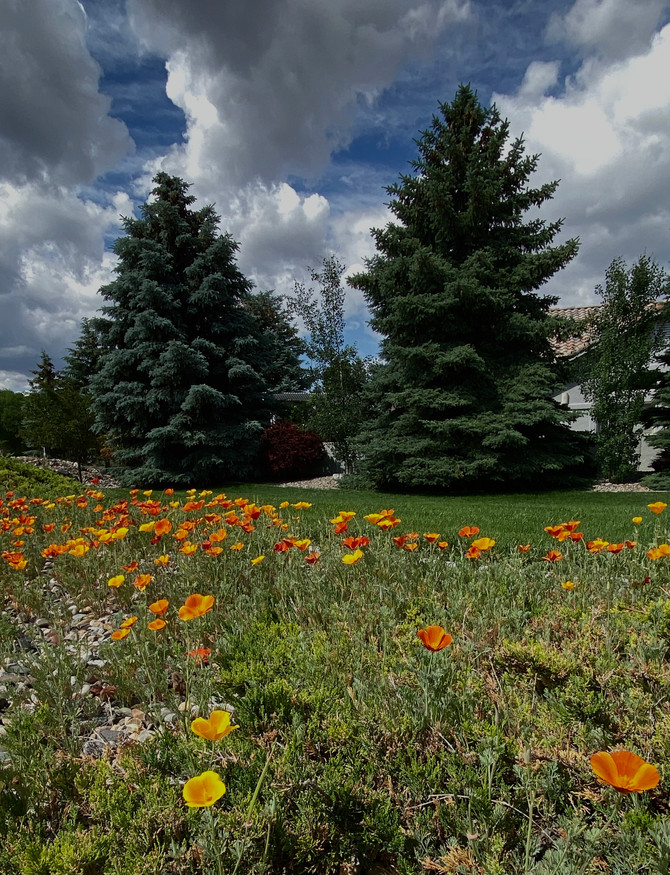 Poppies Where I Live