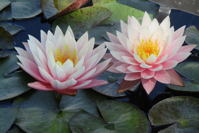 Water Lilies In Light Pink