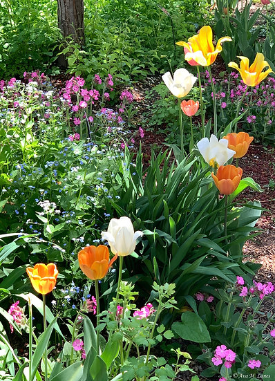 Tulip Colors I