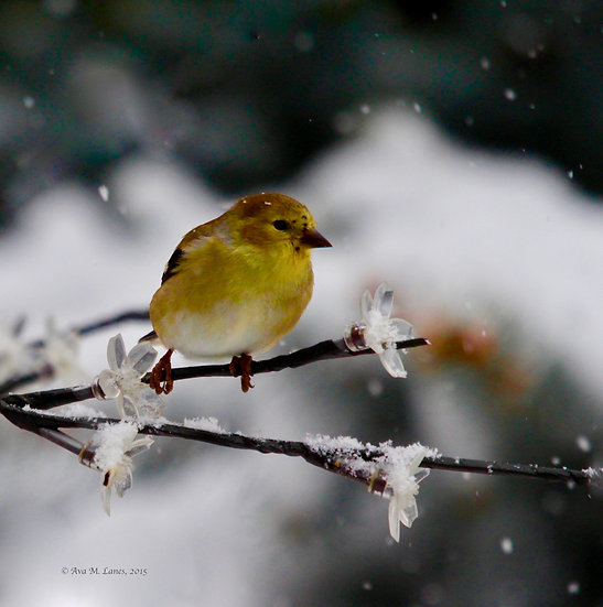 Yellow Finch in Winter