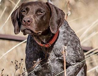 Bird Hunting Dog, HenryEtta