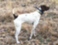 Bird Hunting Dog, Nacho
