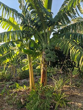 Banana Plant (Hardy)