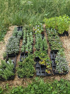 Culinary & Medicinal Herbs