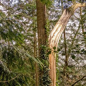 Split Tree in Pettys Copse