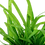 Thumbnail: Sagittaria subulata (Dwarf Sag) Potted
