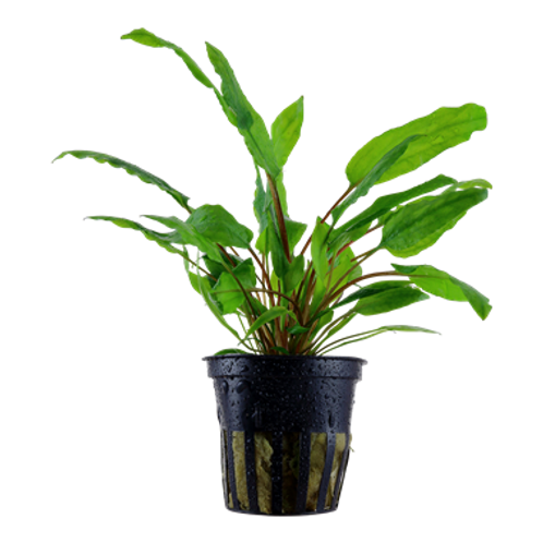 Cryptocoryne (Green) wendtii ( Potted )