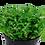 Thumbnail: Glossostigma elatinoides ( Potted )