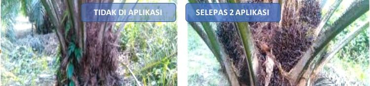 kelapa sawit b4 and after.jpg