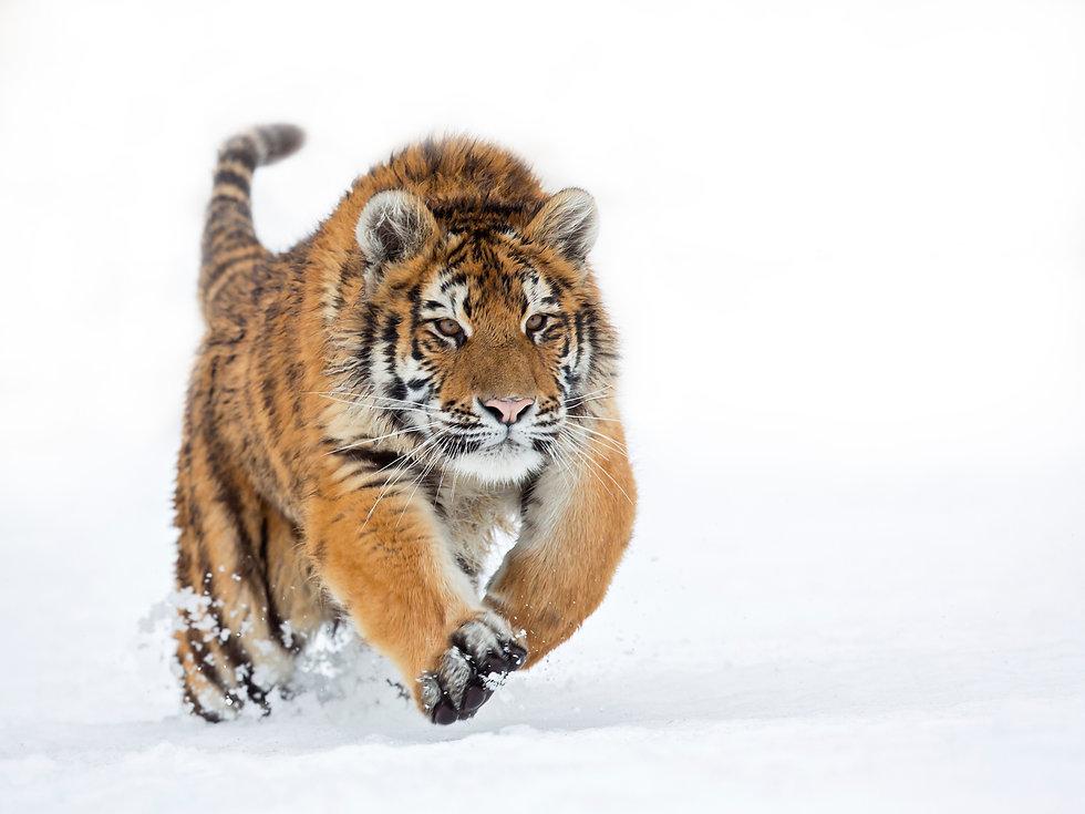 tigreneige.jpg