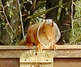 Help us find the Formby Red Squirrel that has got some plastic around its neck