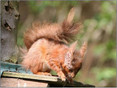 Sad news of sick Red Squirrels in Formby with symptoms very similar to squirrel pox
