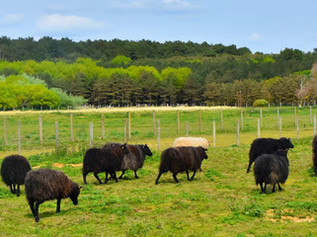 The sheep are back at National Trust Formby!