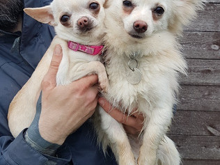 Can anyone re-home these two beautiful Chihuahuas?