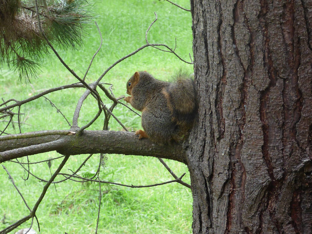 Californian red squirrel from Fran Younger.jpg
