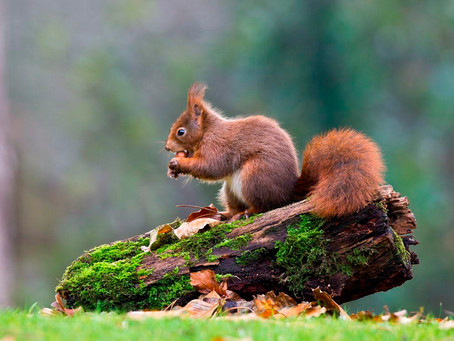 Vital volunteers needed to save the last of our Red Squirrels