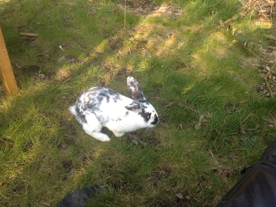 Missing rabbit from Whitehouse Lane area.jpg