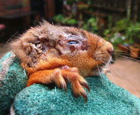 Potential cases of squirrel pox have been reported in Formby