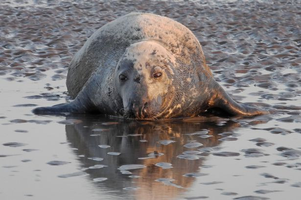 Seal on Formby Beach Photo by Colin Lane.jpg