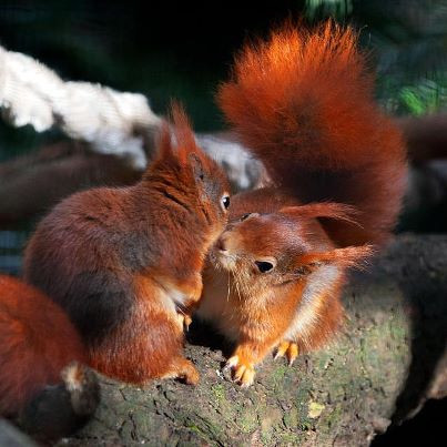 red squirrel kiss.jpg