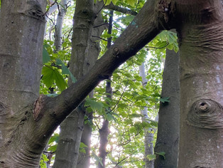 Trees in Formby woods are shaking hands - very interesting phenomena