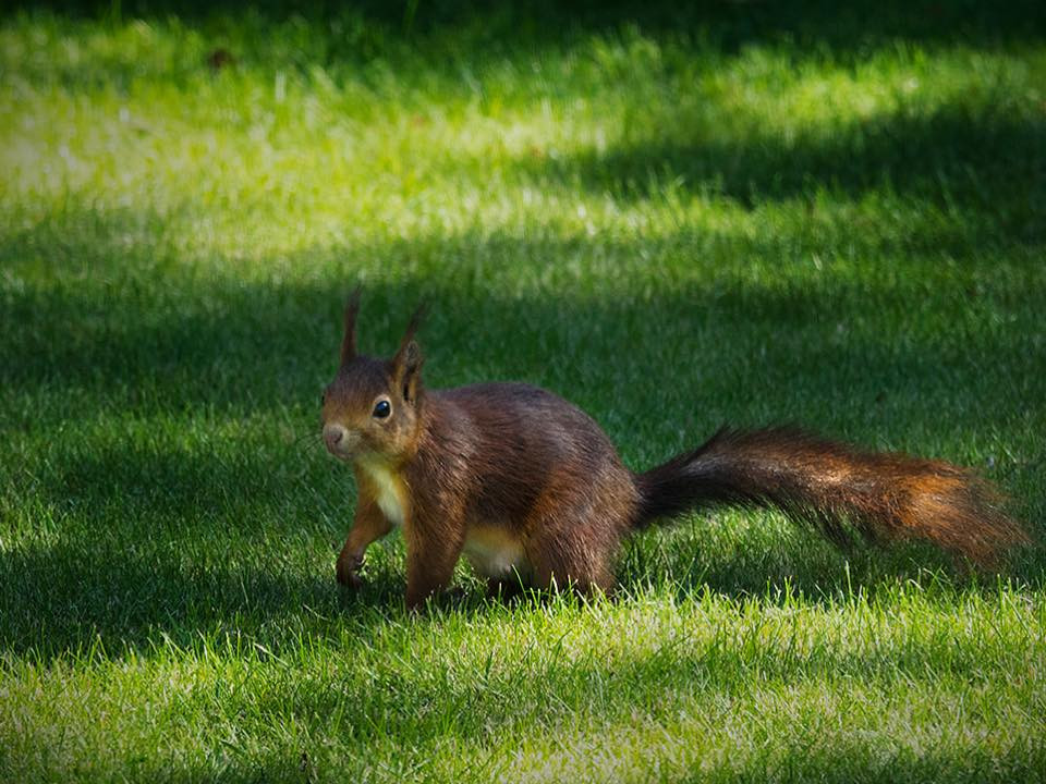 Red Squirrel in the garden by Alison Laverick.jpg